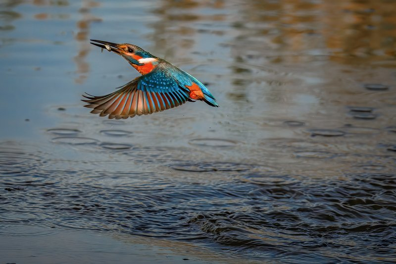 Kingfisher....photo preview