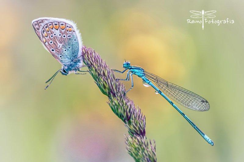 Modraszek ikar- Polyommatus icarus & Pióronóg zwykły-Platycnemis pennipes.photo preview