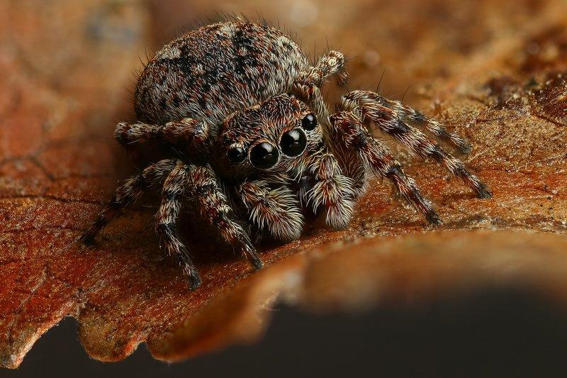 макро,природа,паук,цвет,коричневый,животное,растение,лист,глаза Глазкиphoto preview