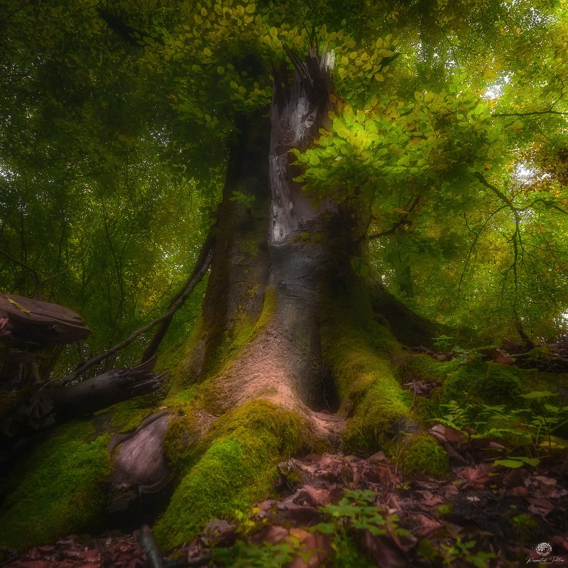 Moss  Tree  Forest  Beauty In Nature  Scenics - Nature  Green Color  Nature  Leaf  Woodland  Atmosphere  Nikon  Light  Autumn Old Tree in Autumn Splendorphoto preview