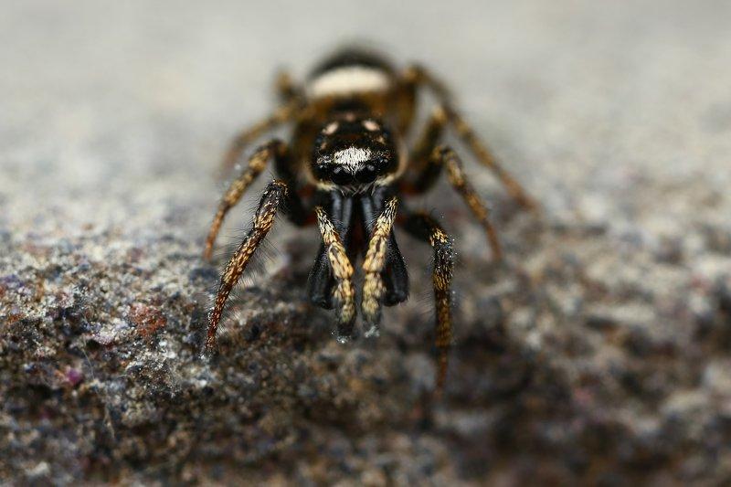 макро,природа,паук,цвет,коричневый,белый,черный,животное Зубищиphoto preview