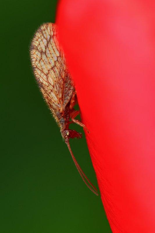 макро,природа,муха,насекомое,цвет,коричневый,зеленый,животное,растение,цветок,красный Геемробаphoto preview