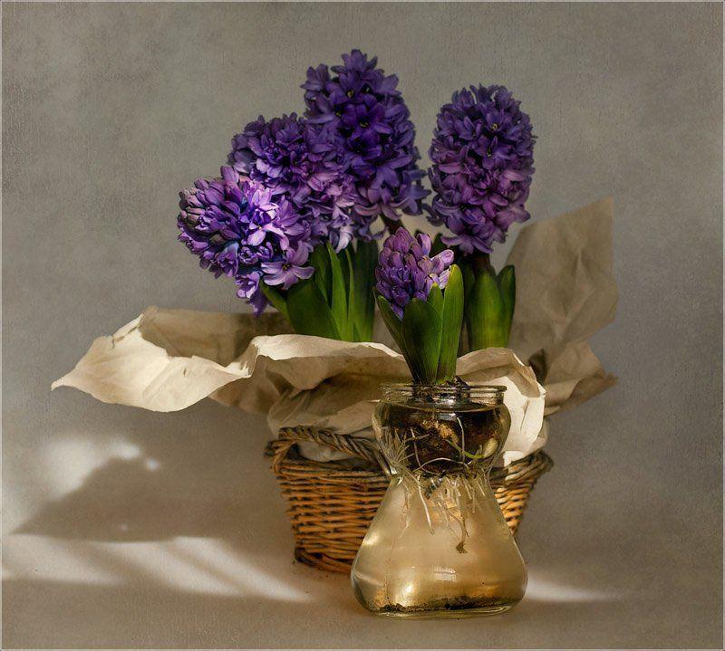 foto liubos, натюрморт, гиацинты .. и всё-таки Весна..photo preview