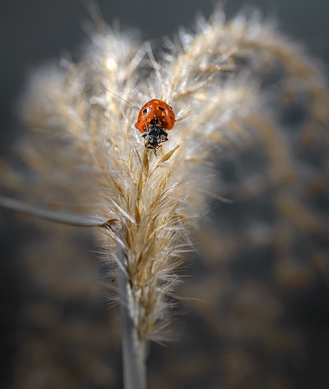 природа, макро, осень, насекомое, жук, божья коровка, злаки Мулен Ружphoto preview