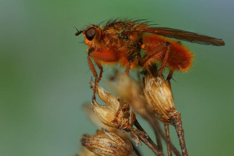 макро,природа,муха,насекомое,цвет,коричневый,зеленый,животное,растение Навозницаphoto preview