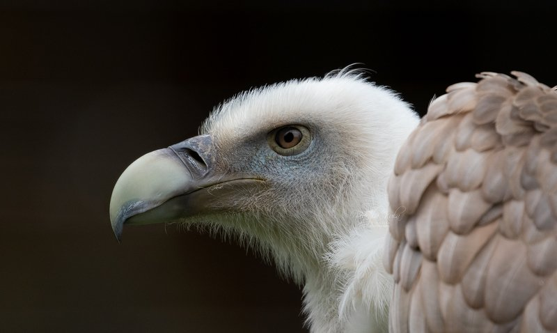 white backed vulture, vulture, birds, birds of prey, close up, portrait, canon White Backed Vulturephoto preview