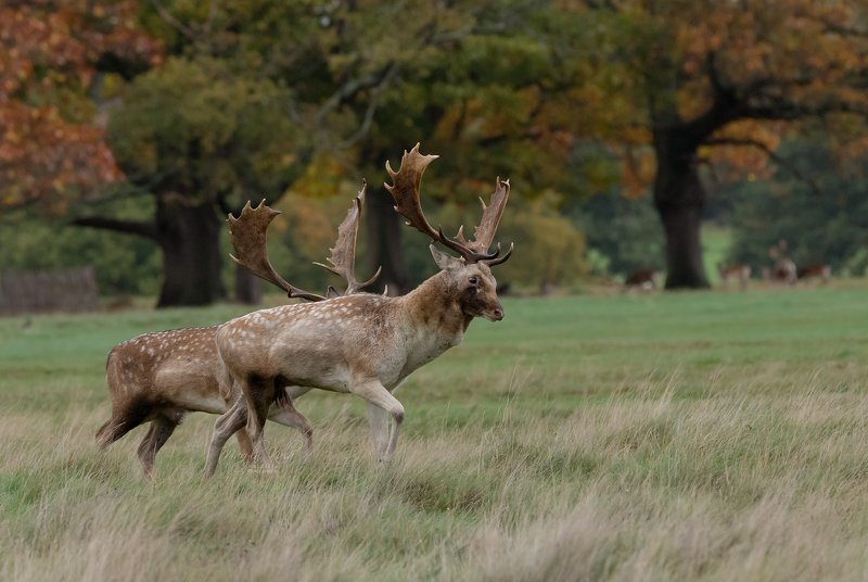 fallow deer, deer, animals, nature, wildlife, woods, canon Getting ready for fightphoto preview