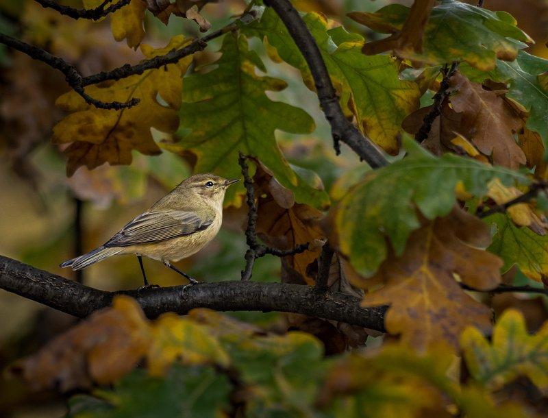 Осенний этюд с пеночкойphoto preview