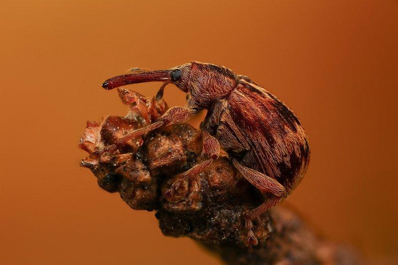 макро,природа,насекомое,животное,жук,долгоносик,цвет,растение,коричневый На кончикеphoto preview