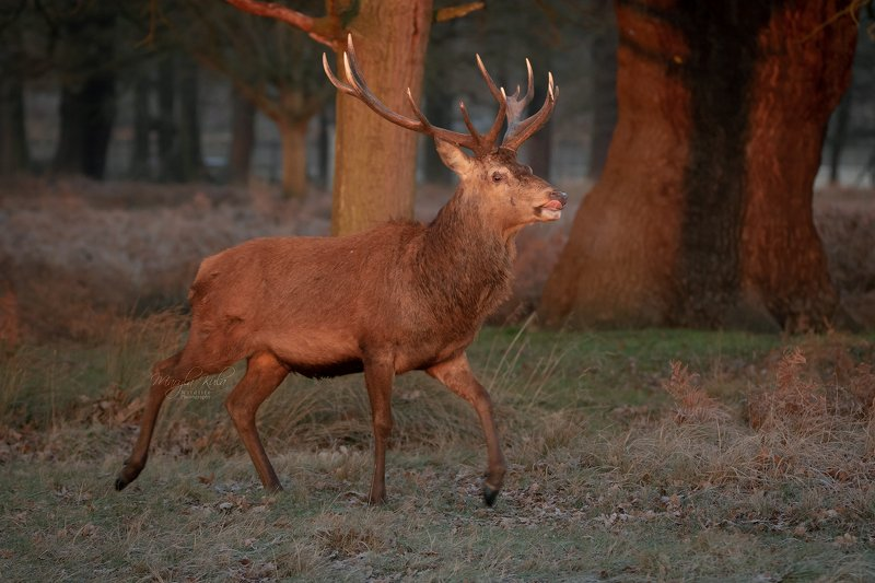 red deer, stag, animals,  nature, wildlife, early morning light, canon, Early morning stagphoto preview