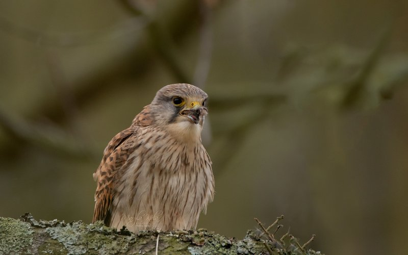 kestrel, bird, birds of prey, nature, wildlife, canon, Kestrel having mealphoto preview