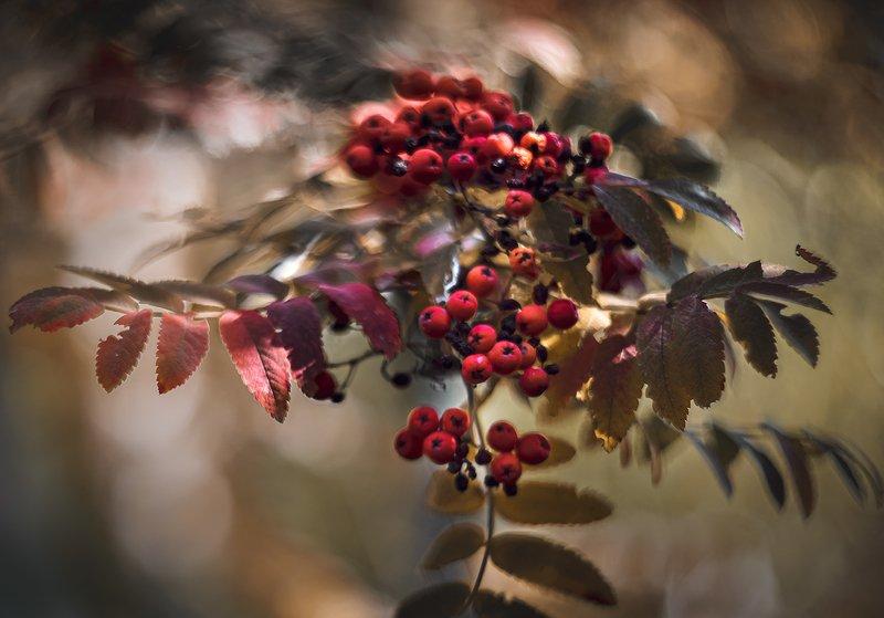 природа, макро, растения, ягоды, рябина, гелиос ***photo preview
