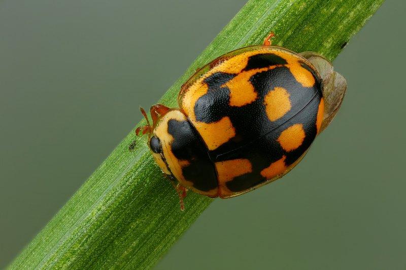 макро,природа,жук,насекомое,цвет,желтый,зеленый,животное,растение,черный,трава Божья коровкаphoto preview