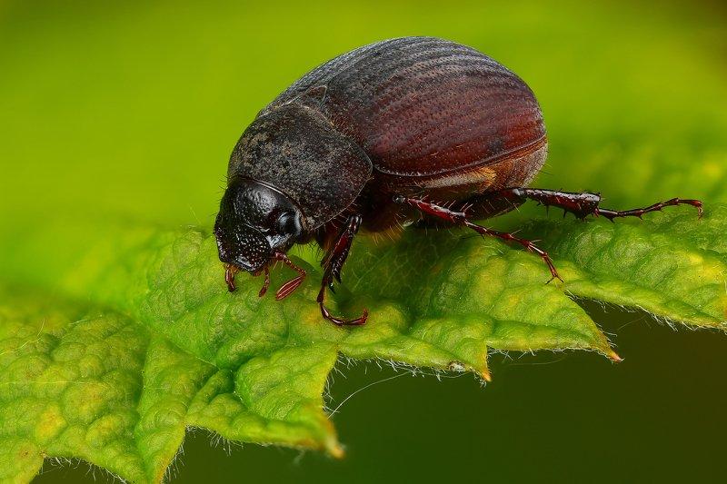 макро,природа,жук,насекомое,цвет,коричневый,зеленый,животное,растение,лист Хрущикphoto preview