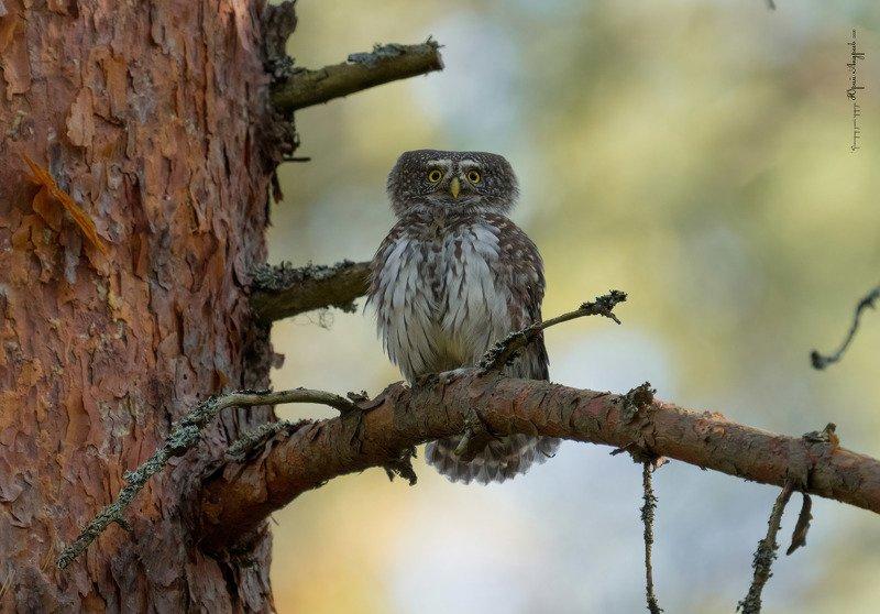 воробьиный сыч, сыч-воробей, сова, лес, сосна Сыч воробьиныйphoto preview