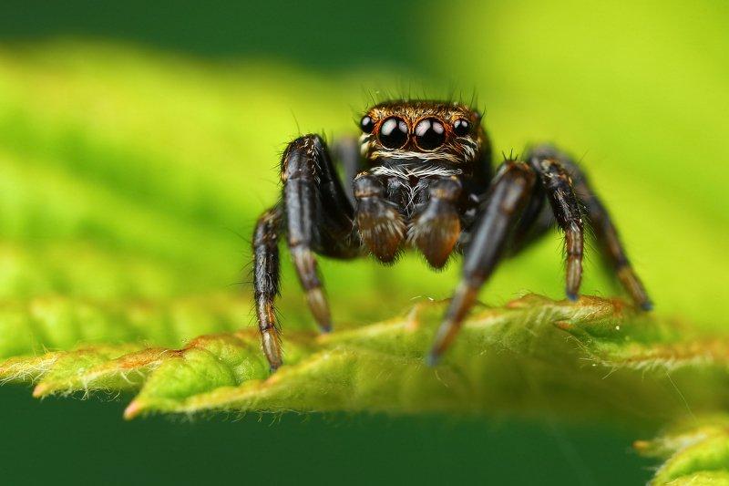 макро,природа,паук,цвет,коричневый,зеленый,черный,животное,растение Бусинкиphoto preview