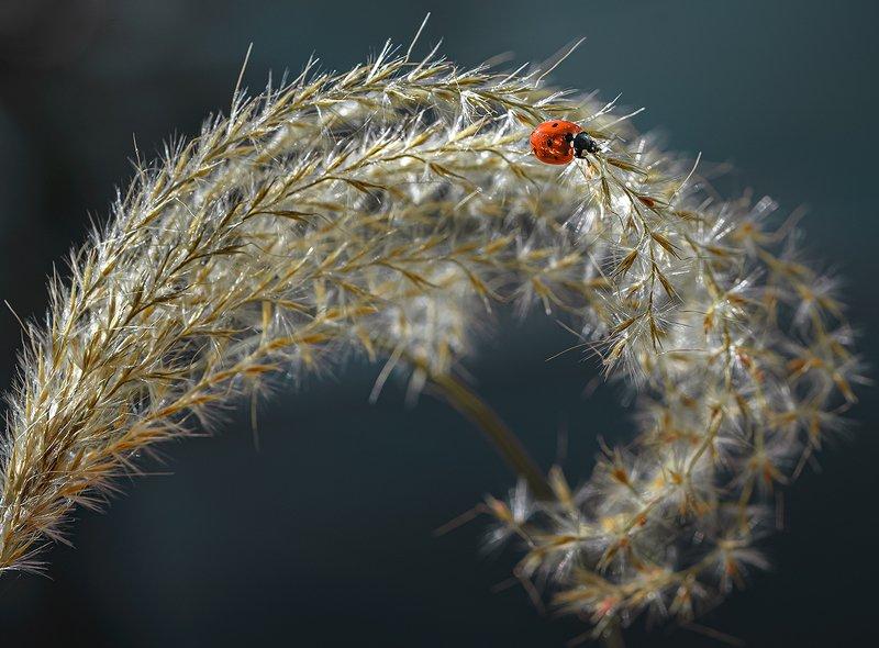 природа, макро, осень, насекомое, жук, божья коровка, злаки Сухая волнаphoto preview