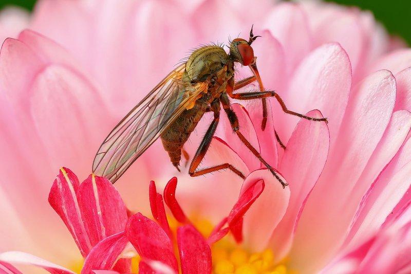 макро,природа,муха,насекомое,цвет,коричневый,розовый,животное,растение,цветок Толкунчикphoto preview