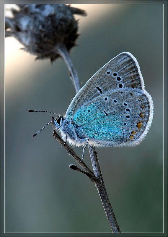 голубянка, небесная, polyommatus, coelestinus Встречая рассветphoto preview