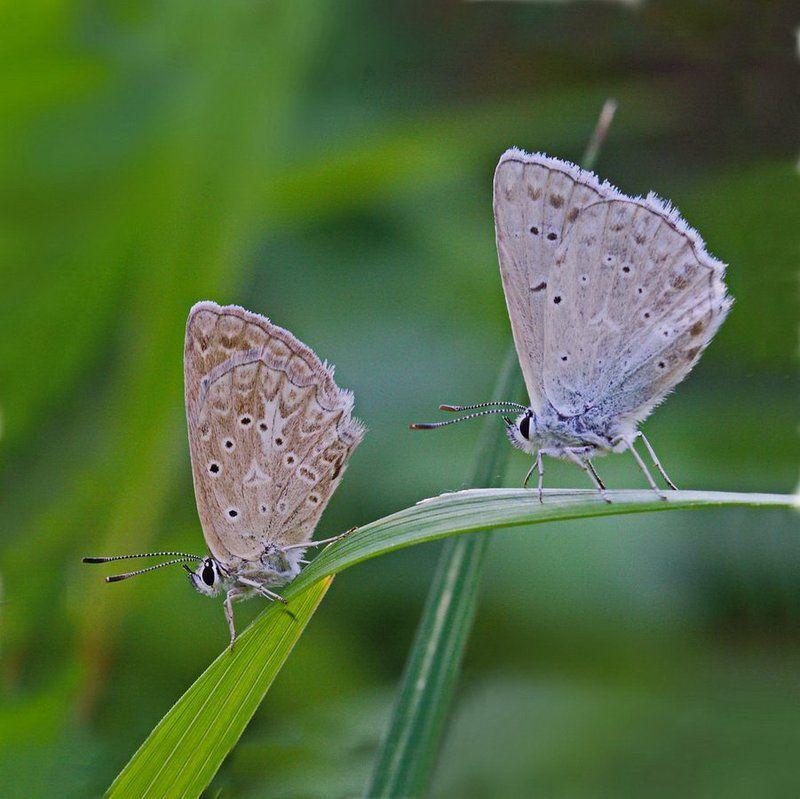 polyommatus, daphnis, голубянка, зубчатокрылая Парочкаphoto preview