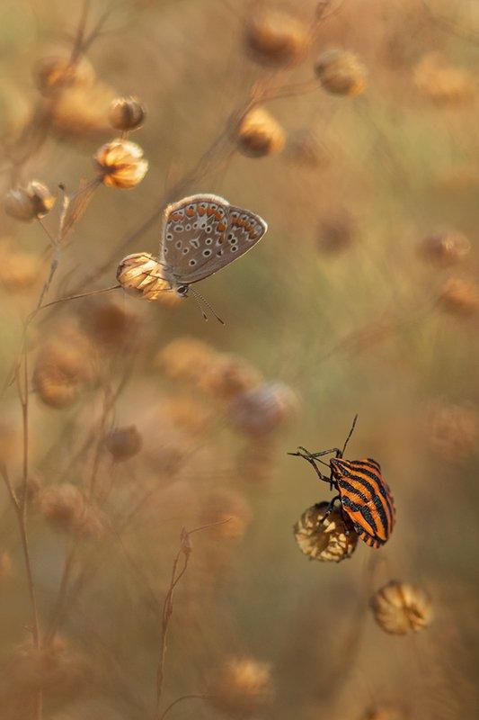 макро, бабочка, голубянка, клоп Поклон на бис.photo preview