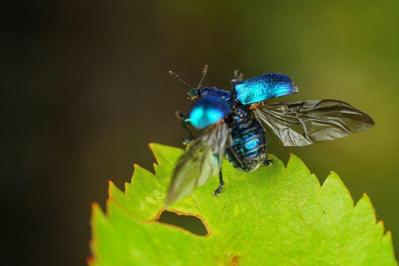 макро,природа,насекомое,животное,жук,долгоносик,цвет,растение,зеленый,синий К взлету готовphoto preview