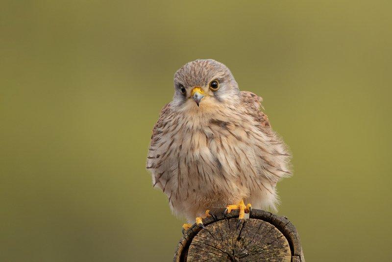 kestrel, bird, birds of prey, nature, wildlife, canon, Kestrelphoto preview