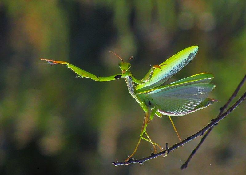 макро, насекомые, богомол Цыганочка с выходомphoto preview
