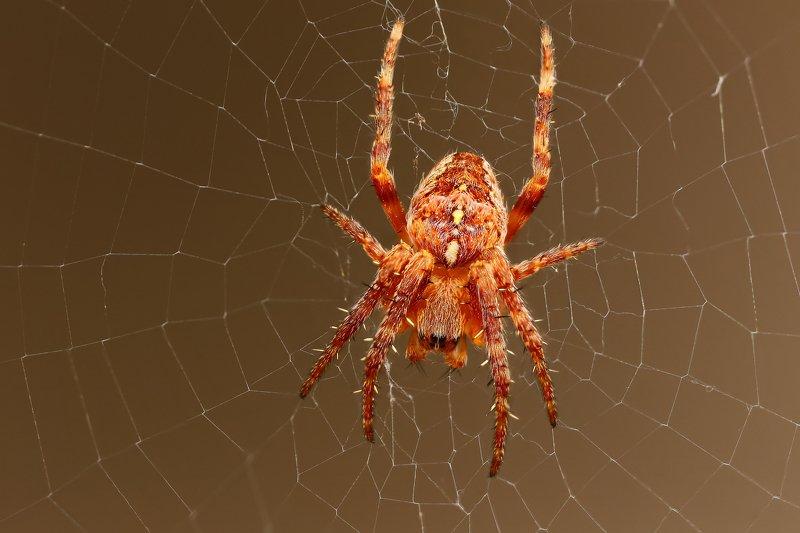 макро,природа,паук,цвет,коричневый,оранжевый,животное,паутина Кругопрядphoto preview