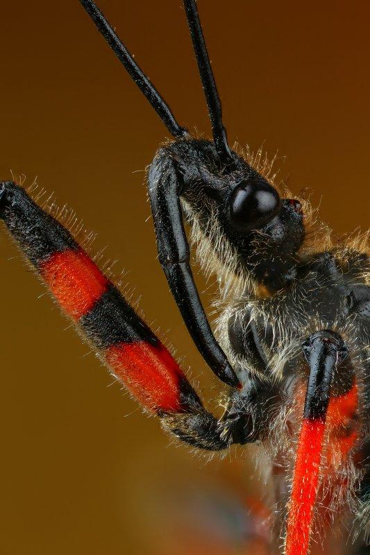 макро,природа,клоп,цвет,коричневый,красный,черный,животное,насекомое,портрет Копьёphoto preview
