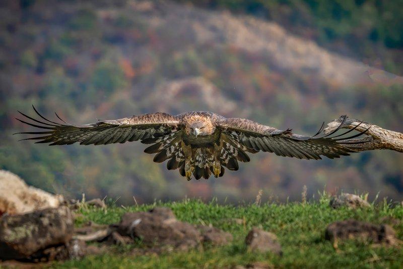 Golden eagle (Aquila chrysaetos) - Madjarovo Bulgaria....photo preview