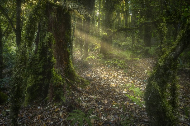 ang ka nature trail, doi ithanon, doi ithanon natural park, Forest, Leachen, Leaves, moss, primeval forest, Sun, sunbeam, Sunlight, sunray, thailand, trees, treetrunk, wildwood, virgin forest Wildwoodphoto preview