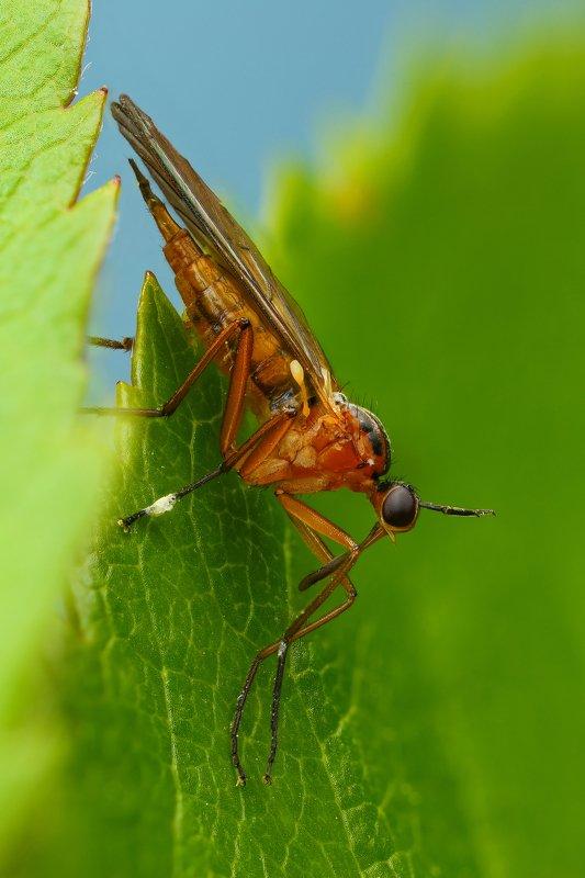 макро,природа,муха,насекомое,цвет,оранжевый,зеленый,животное,растение,лист Носатикphoto preview