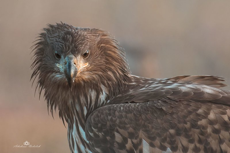 Bielik (Haliaeetus albicilla)photo preview