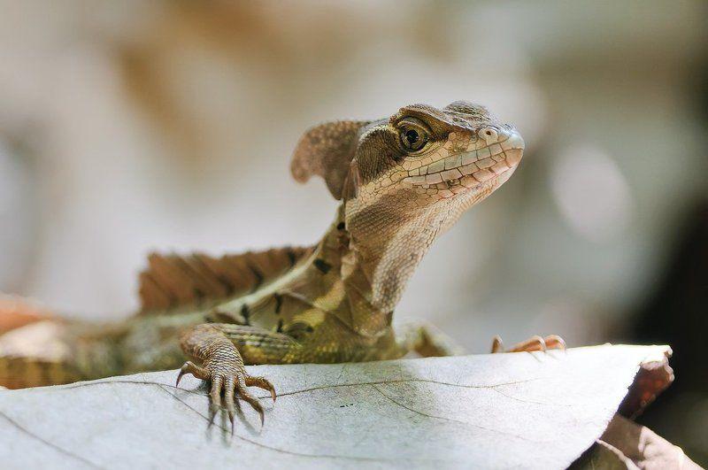 василиск, коста-рика, ящерица Милашкаphoto preview