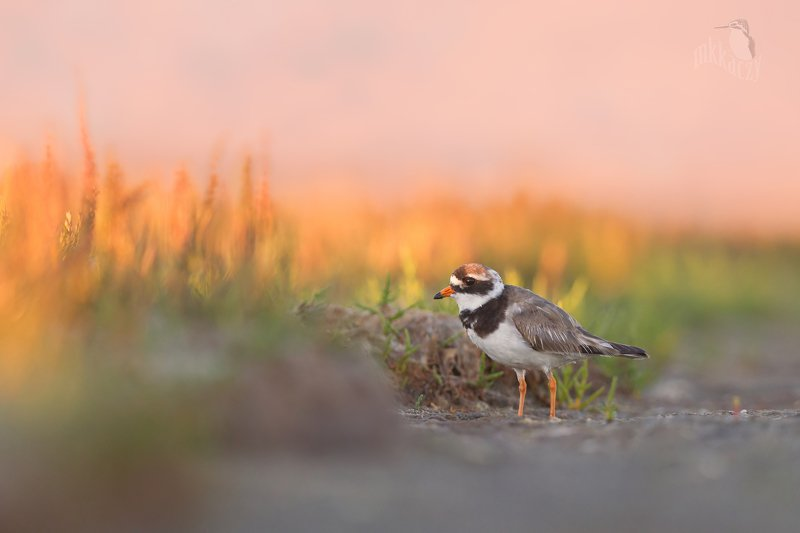 Ringed plover in late summer- Irelandphoto preview