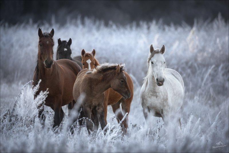 россия, алтай, горный алтай, кони, лошади, осень, иней, утро, усть-кокса, мульта, tamron, horse Одним морозным утром ..photo preview
