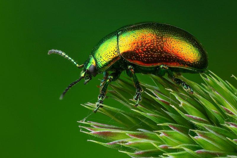макро,природа,жук,насекомое,цвет,красный,зеленый,животное,растение,трава Радужныйphoto preview