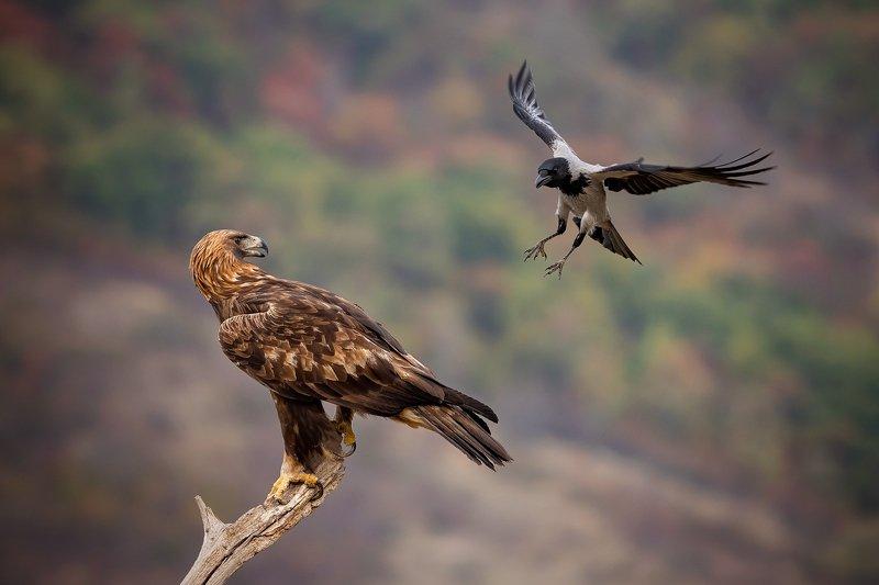 Golden eagle v.s. Gray crow...photo preview