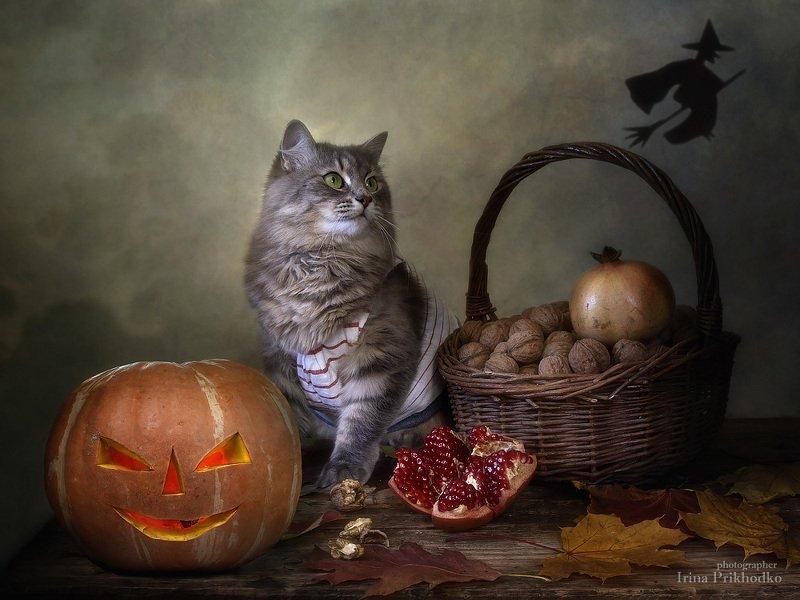 постановочная фотография, хэллоуин, кошка Масяня, джек-фонарь, тыква, осень, котонатюрморт, зоонатюрморт - Вау, ведьма полетела!photo preview