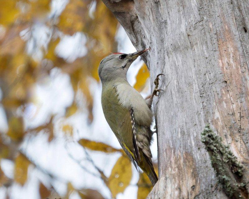дятел седой, picus canus, лечить деревья, лес, сосна сухая Седой дятелphoto preview