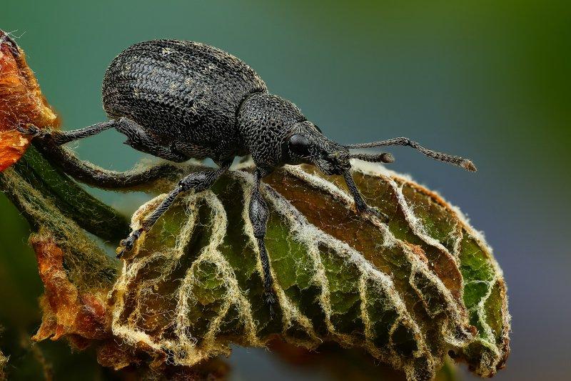 макро,природа,насекомое,животное,жук,долгоносик,цвет,растение,зеленый,черный Семечкаphoto preview