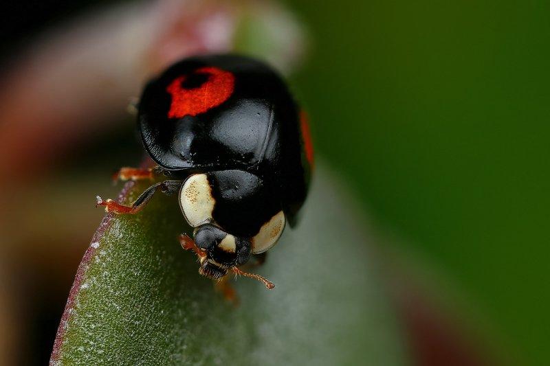 макро,природа,насекомое,животное,жук,черный,цвет,растение,зеленый С закатом на спинеphoto preview