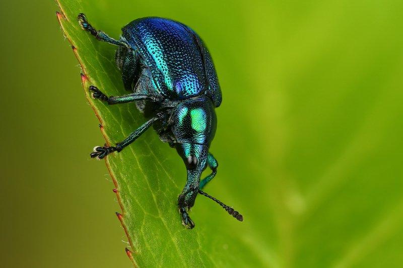 макро,природа,насекомое,животное,жук,долгоносик,цвет,растение,зеленый,синий Трубковертphoto preview