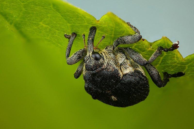 макро,природа,насекомое,животное,жук,долгоносик,цвет,растение,зеленый,черный Вверх ногамиphoto preview