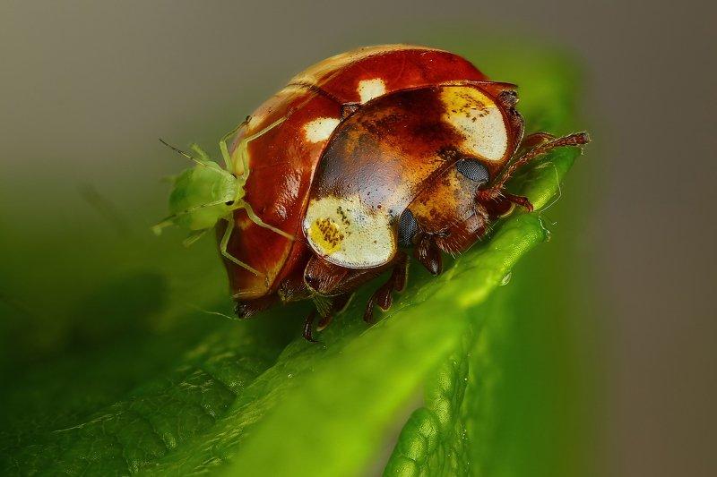 макро,природа,насекомое,животное,жук,оранжевый,тля,цвет,растение,зеленый Наеласьphoto preview