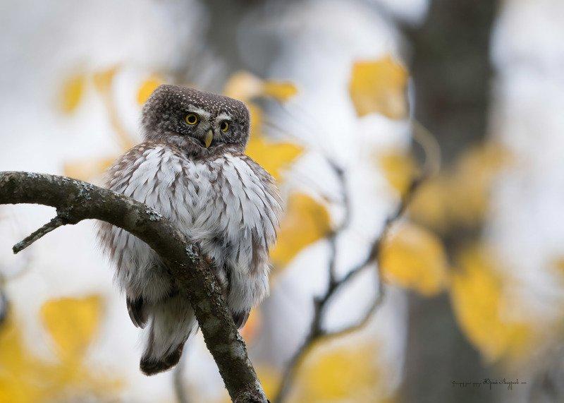сыч-воробей, сова, птица, Воробьиный сычphoto preview