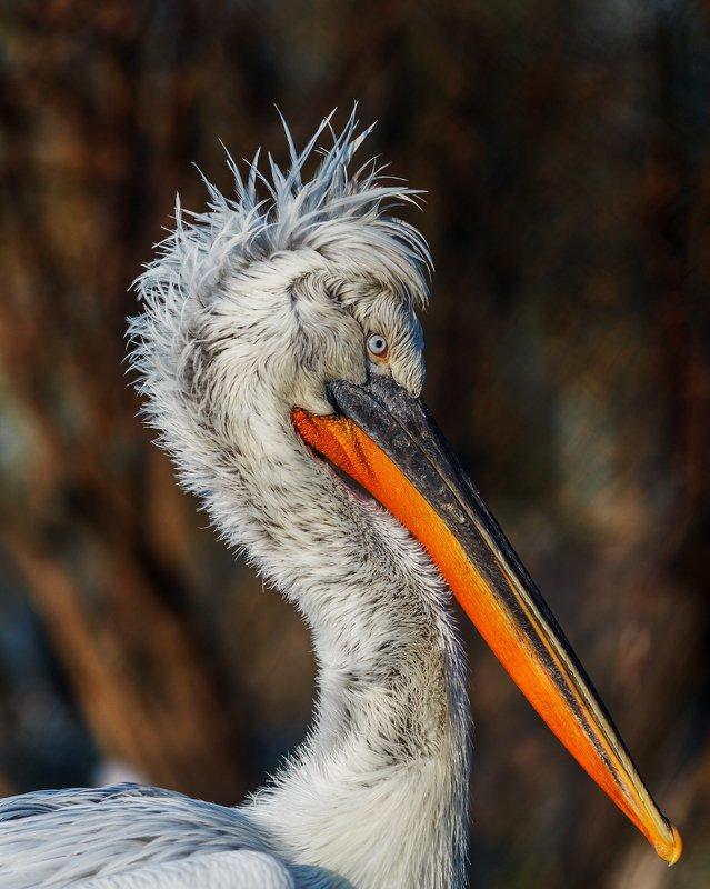 кудрявый пеликан Кудрявый пеликанphoto preview