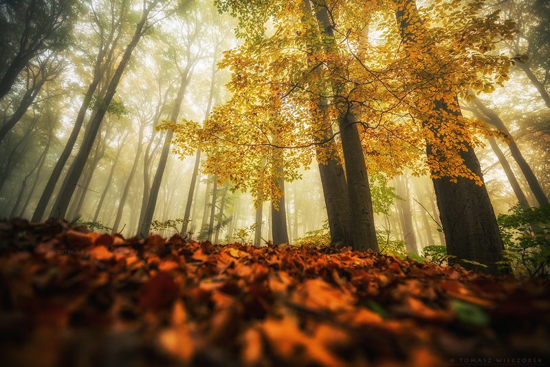 landscape, poland, light, autumn, awesome, amazing, sunrise, sunset, lovely, nature, travel, morning, trees, leaves, mist, mood, fog On the forest floorphoto preview