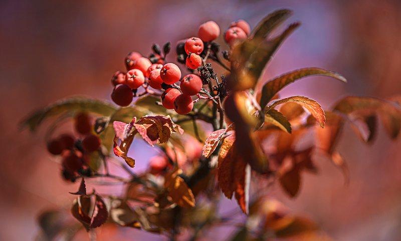 природа, макро, осень, ягоды, рябина Рябиновый хороводphoto preview